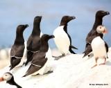 Razorbills, Machias Seal Island, ME, 7-12-15, Jpa_2030.jpg