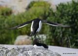 Razzorbill taking off, Machias Seal Island, ME, 7-12-15, Jpa_1380.jpg