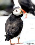Atlantic Puffin, Machias Seal Island, ME, 7-12-15, Jpa_1855.jpg