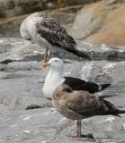 Greater Black-backed Gull, Cutler, ME, 7-12-15, Jpa_1699.jpg