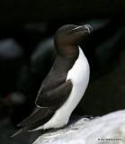 Razorbill, Machias Seal Island, ME, 7-12-15, Jpa 1526.jpg
