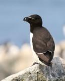 Razorbill, Machias Seal Island, ME, 7-12-15, Jpa2 1813.jpg