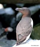 Razorbill, Machias Seal Island, ME, 7-12-15, Jpa_1523.jpg