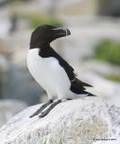 Razorbill, Machias Seal Island, ME, 7-12-15, Jpa_1732.jpg
