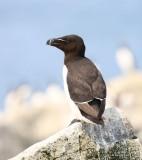 Razorbill, Machias Seal Island, ME, 7-12-15, Jpa_1808.jpg