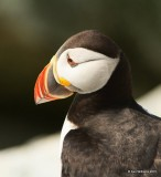Atlantic Puffin, Machias Seal Island, ME, 7-12-15, Jpa_0024.jpg