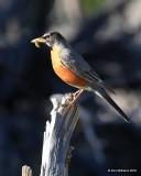 American Robin, Estes Park, CO, 6_14_2016_Jpa_19163.jpg
