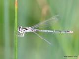 Arroyo Bluet, Enallagma praevarum, female, Raton, NM, 6-21-16, Jpa_21355.jpg