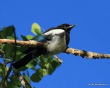 Black-billed Magpie juvenile, N. Delores CO, 6_20_2016_Jpa_21160.jpg