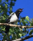 Black-billed Magpie juvenile, N. Delores CO, 6_20_2016_Jpa_21177.jpg