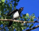Black-billed Magpie juvenile, N. Delores CO, 6_20_2016_Jpa_21178.jpg