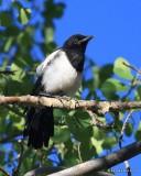 Black-billed Magpie juvenile, N. Delores CO, 6_20_2016_Jpa_21183.jpg
