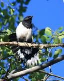 Black-billed Magpie juvenile, N. Delores CO, 6_20_2016_Jpa_21185.jpg