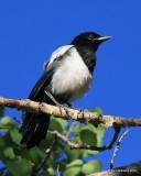 Black-billed Magpie juvenile, N. Delores CO, 6_20_2016_Jpa_21189.jpg