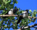 Black-billed Magpie juveniles, N. Delores CO, 6_20_2016_Jpa_21161.jpg