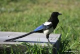 Black-billed Magpie, Rocky Mt NP, CO, 6_16_16_Jpa_20273.jpg