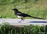 Black-billed Magpie, Rocky Mt NP, CO, 6_16_16_Jpa_20274.jpg