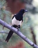 Black-billed Magpie, Rocky Mt. NP, CO, 6_14_2016_Jpa_18993.jpg