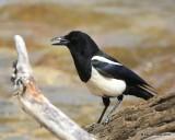 Black-billed Magpie, Rocky Mt. NP, CO, 6_14_2016_Jpa_19037.jpg