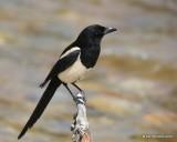 Black-billed Magpie, Rocky Mt. NP, CO, 6_14_2016_Jpa_19046.jpg