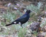 Brewer's Blackbird male, Rocky Mt. NP, CO, 6_14_2016_Jpa_19063.jpg