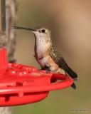 Broad-tailed Hummingbird female, Estes Park, CO, 6_14_2016_Jpa_19210.jpg