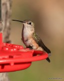 Broad-tailed Hummingbird female, Estes Park, CO, 6_14_2016_Jpa_19212.jpg