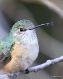 Broad-tailed Hummingbird female, Mt Evans, CO, 06_12_2016_Jpa3_18100.jpg