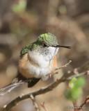 Broad-tailed Hummingbird female, Mt Evans, CO, 6-13-16, Jpa_18488.jpg
