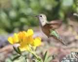 Broad-tailed Hummingbird female, Rocky Mt. NP, CO, 6_14_2016_Jpa_19100.jpg