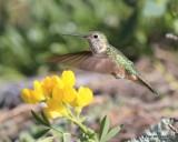 Broad-tailed Hummingbird female, Rocky Mt. NP, CO, 6_14_2016_Jpa_19101.jpg