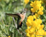 Broad-tailed Hummingbird female, Rocky Mt. NP, CO, 6_14_2016_Jpa_19131.jpg