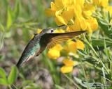 Broad-tailed Hummingbird female, Rocky Mt. NP, CO, 6_14_2016_Jpa_19149.jpg