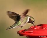 Broad-tailed Hummingbird male, Estes Park, CO, 6_14_2016_Jpa_19218.jpg