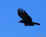 Common Raven, Rocky Mt. NP, CO, 6_15_2016_Jpa_19331.jpg