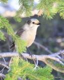 Canada Jay, Rocky Mt NP, CO, 6_15_16_Jpa_19559.jpg