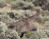 Gunnison Sage-Grouse hen, Gunnison, CO, 6_19_2016_Jpa_21052.jpg