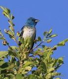 Lazuli Bunting male, Raton, NM, 6-22-16, Jpa_56691.jpg