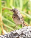 Lincoln's Sparrow, Mt. Evans, CO, 6-13-16, Jpa_18377.jpg