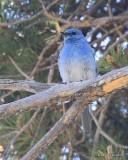Mountain Bluebird male, Grandby Lake, CO, 6_17_16_Jpa_20580.jpg