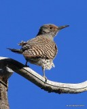 Northern Flicker, Red-shafted variety female, Rocky Mt NP,  6_15_2016_Jpa_19721.jpg