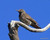 Northern Flicker, Red-shafted variety female, Rocky Mt NP,  6_15_2016_Jpa_19728.jpg