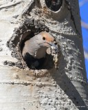 Northern Flicker, Red-shafted variety female, Rocky Mt NP,  6_16_2016_Jpa_19959.jpg