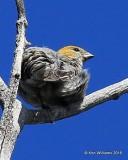 Pine Grosbeak juvenile female, Mt Evans, CO, 6-13-16, Jpa_18253.jpg