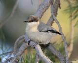 Pygmy Nuthatch, Rocky Mt NP, CO, 6_16_16_Jpa_20379.jpg