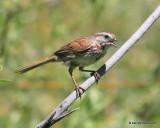 Song Sparrow, W. of Gunnison, CO, 6_18_2016_Jpa_20782.jpg