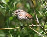 Song Sparrow, W. of Gunnison, CO, 6_18_2016_Jpa_20793.jpg