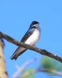 Tree Swallow, Rocky Mt NP,  6_16_2016_Jpa_19911.jpg