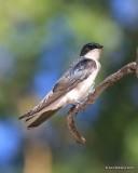 Tree Swallow, Rocky Mt NP,  6_16_2016_Jpa_19968.jpg