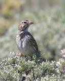 Vesper Sparrow, Grandby Lake, CO, 6_17_16_Jpa_20515.jpg
